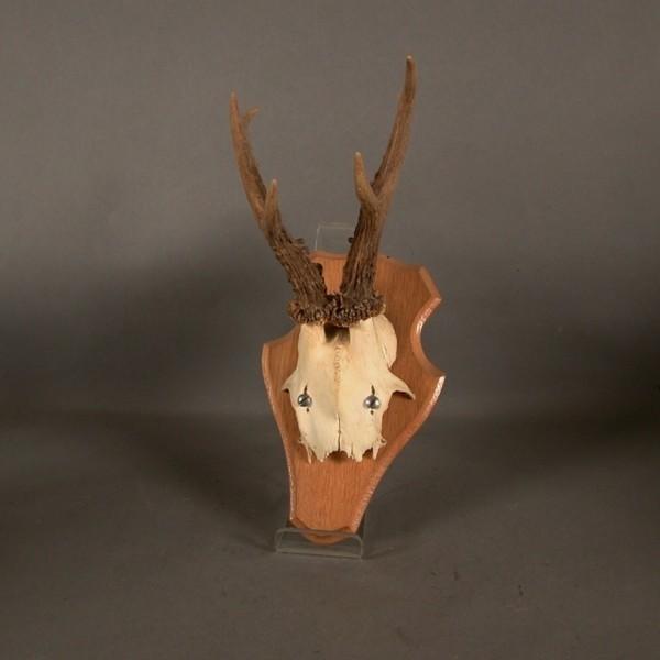 Antler / Horn of deer....